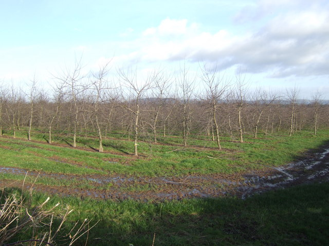 Herefordshire cider orchard