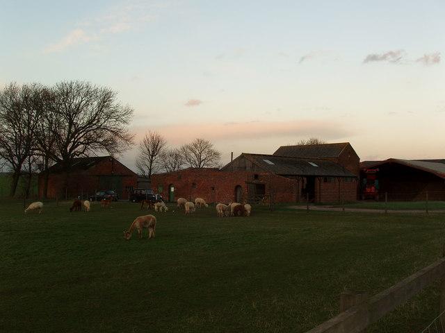 Alpaca Grazing at Lodge Farm, between Newland and Little Airmyn, North Yorkshire