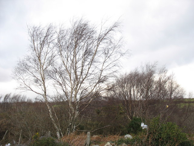 Birch trees and wind blown carrier bags