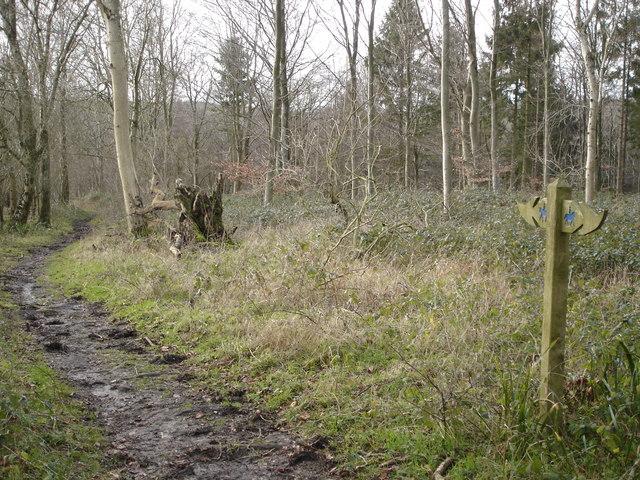 Wessex Ridgeway along the edge of Ashmore Wood