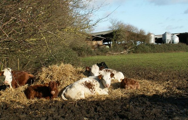 Cattle at Deal Farm