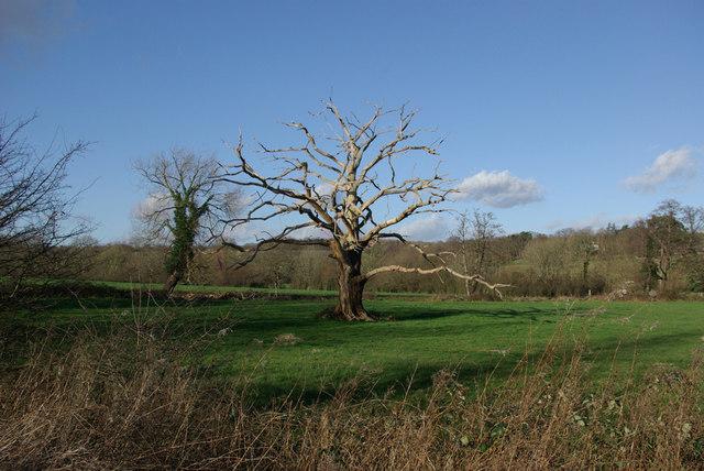 Dead Oak
