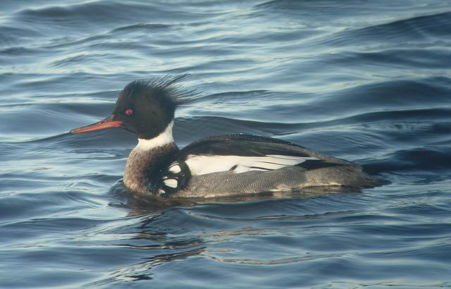 Male Red-breasted Merganser (Mergus serrator)