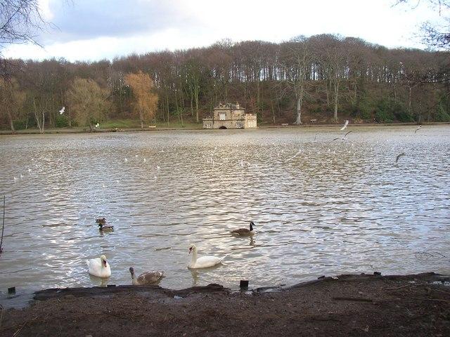 Swans at Newmillerdam, Crigglestone