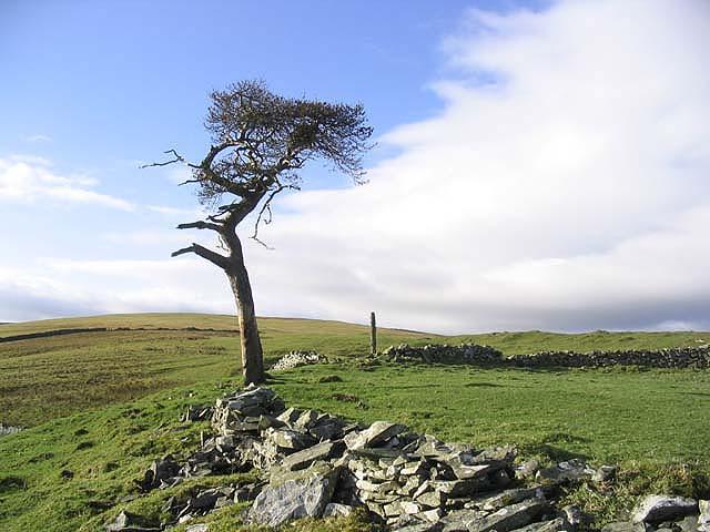 Old pine tree on Broadlee Hill