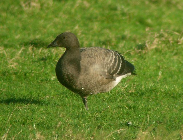 Brent Goose (juvenile)