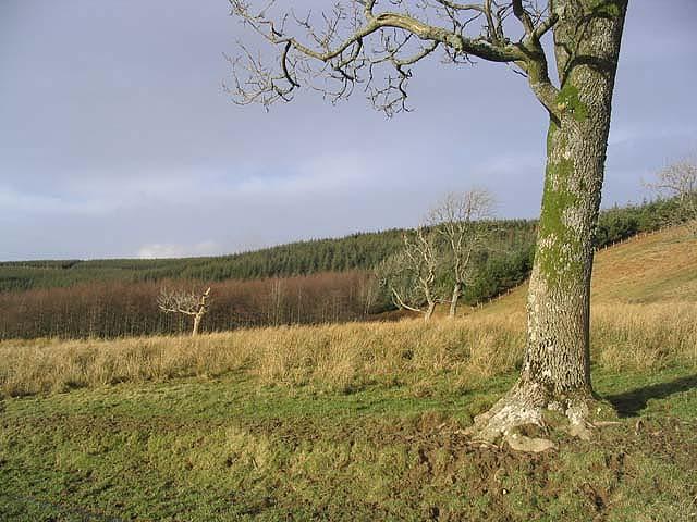 Ash trees at Woll Rig