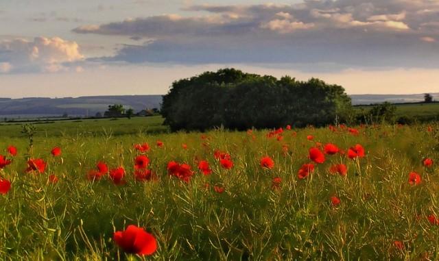 Poppies near Howldale Lane