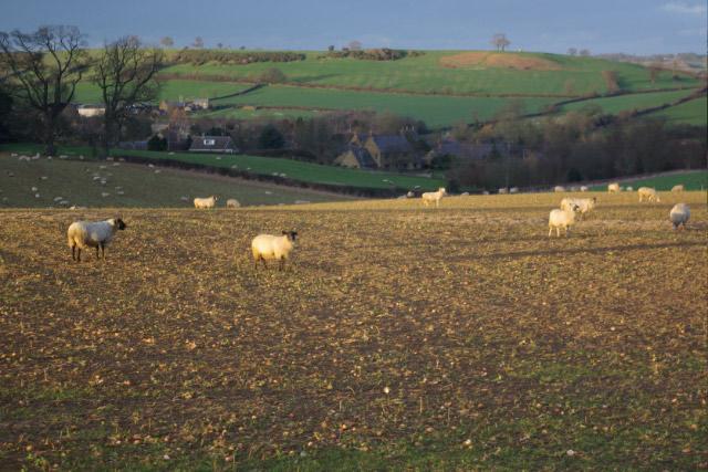 Sheep near Epwell