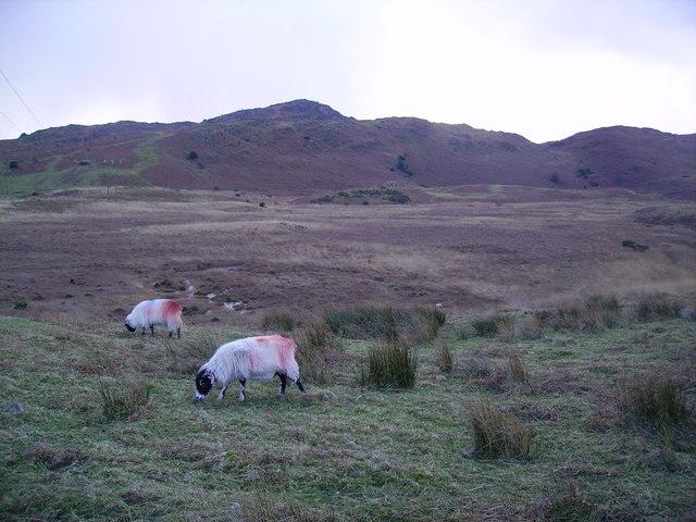 Sheep, Stable Harvey Moss