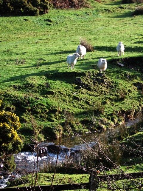 Sheep at the foot of Lake Down