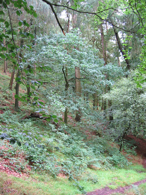 Beeches of Forest Wood