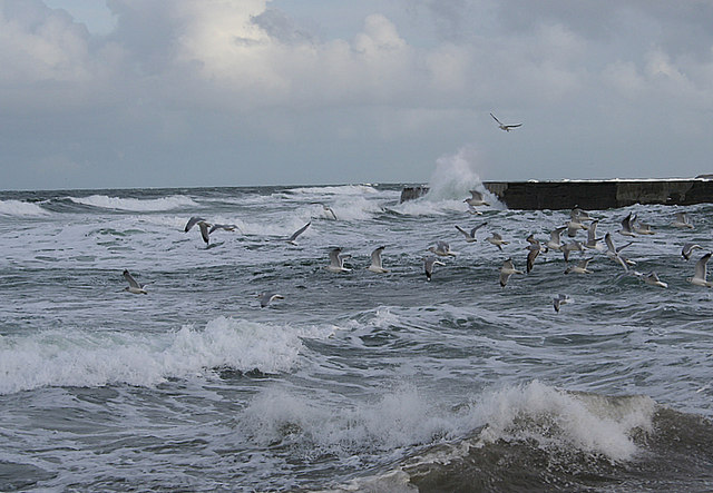 Gulls by Port Rae, ill at ease in a strongish northwesterly.