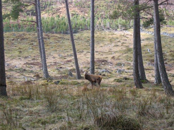 Red Deer, near Linn of Dee