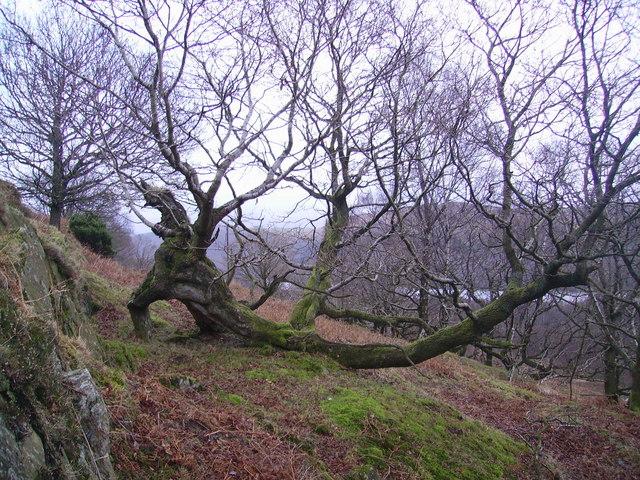 Fallen Tree, Blawith