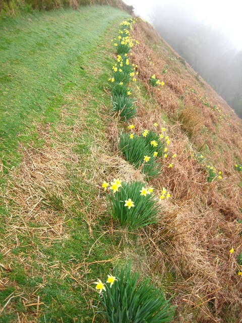 Daffodils on hillside above Bettws