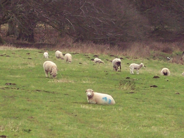 Ewes and Lambs on Hunts Down