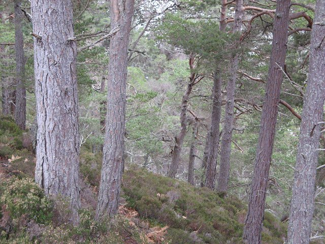 Forest above the Allt Ruadh