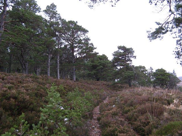 Pine woods, Creag Mhigeachaidh