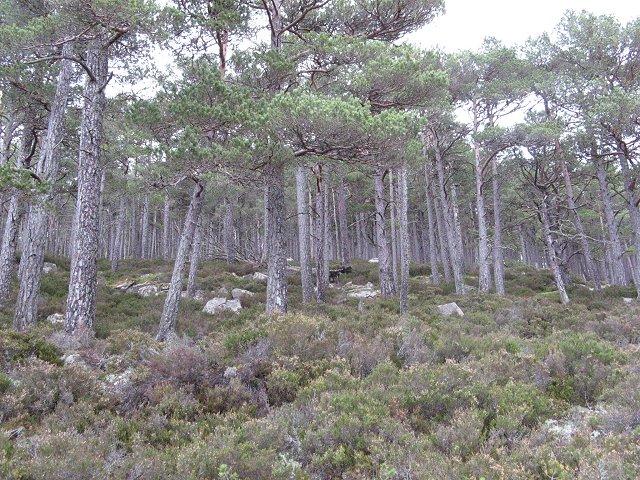 Pine forest above the Allt Ruadh