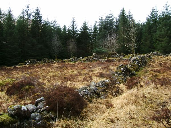 Old sheepfold in the conifer plantation near Strathan