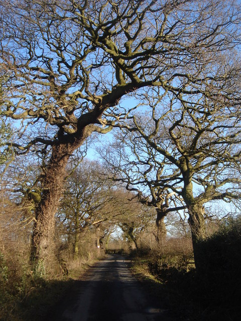 Old Oak trees on Wood Lane