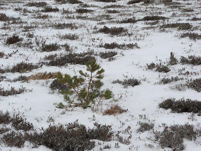 Pine tree, Creag Mhigeachaidh