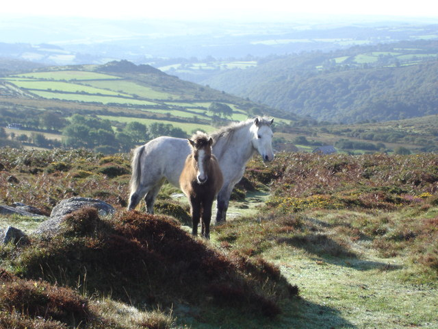Dartmoor Ponies near Bench Tor