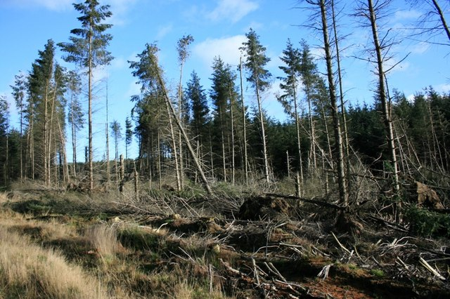 Windblown Trees, Langdale Forest