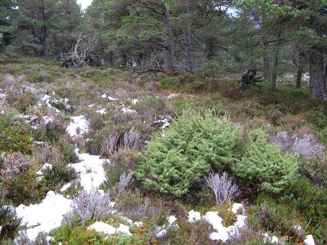 Juniper, Inshriach Forest
