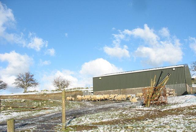 Sheep gathered into the yard of Fferm Bryn Eilian