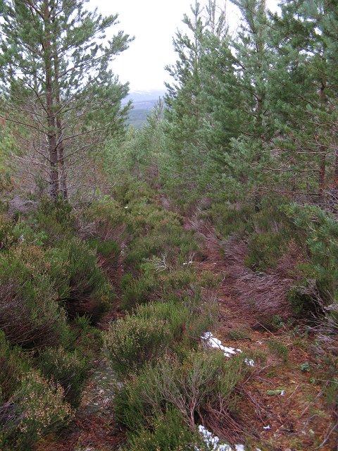 Young pines, Allt nan Cùileach