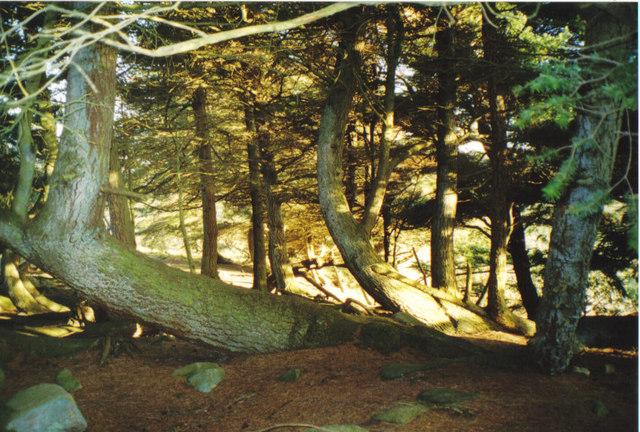 Tangled trees