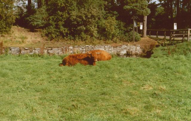 Cattle Blair Atholl