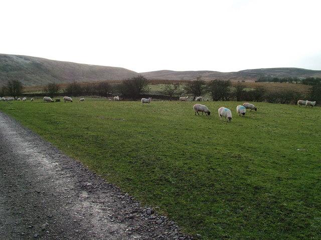 Sheep near Tortie