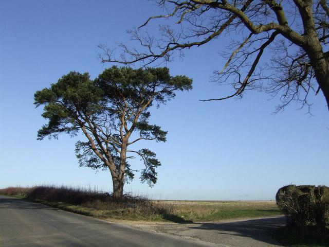 Solitary pine