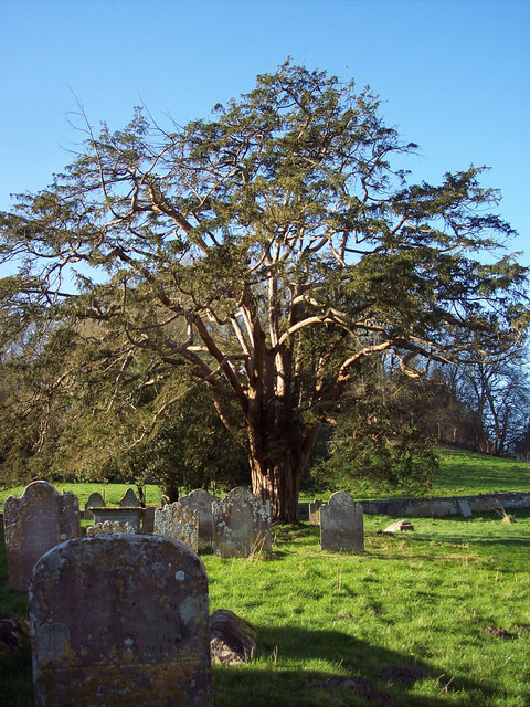 Yew Tree at All Saints Church