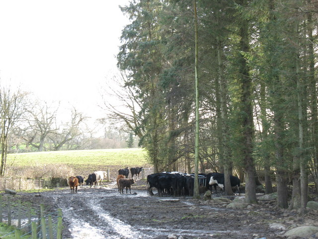 Cattle in a clearing in the plantation