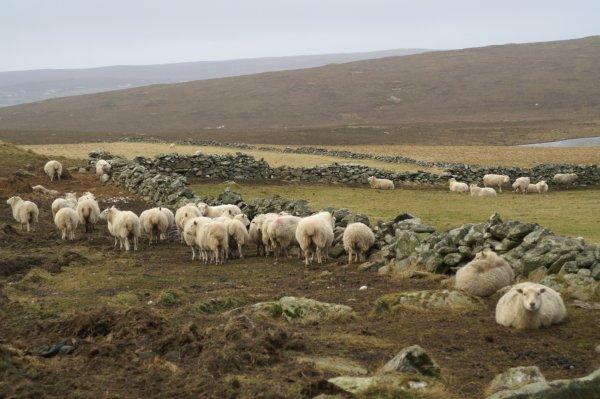 Sheep, Lund
