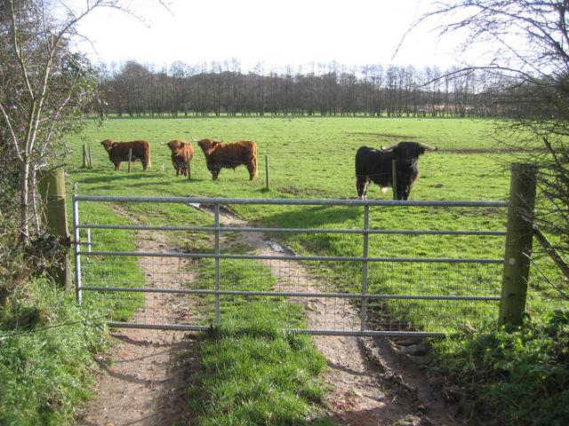 Fierce-looking cattle, Dilham, Norfolk