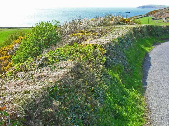 Roadside hedge above Garheugh Port