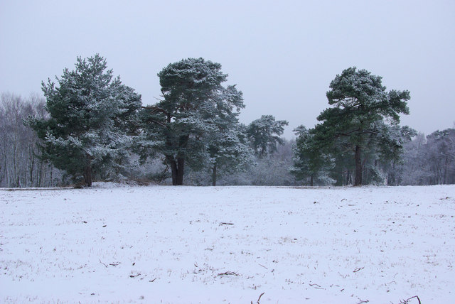 Trees in the Snow on Ashdown Forest