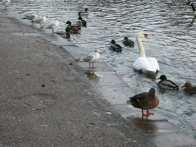 Bakewell - River Wye (Gulls, Ducks and Swan)
