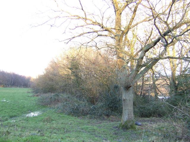 Oak in scrubland