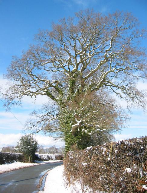 Snowy oak tree, New Lane