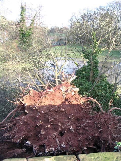 Fallen tree at Kenilworth Castle
