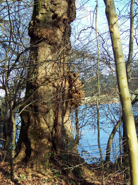 Knobbly Tree at Fonthill Lake