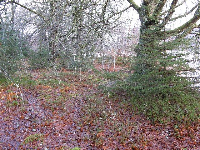 Beech woods, Loch Oich