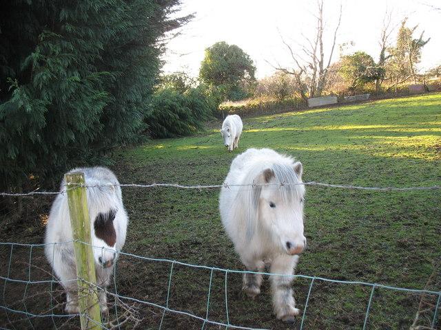 Miniature ponies at Rhos-ddu