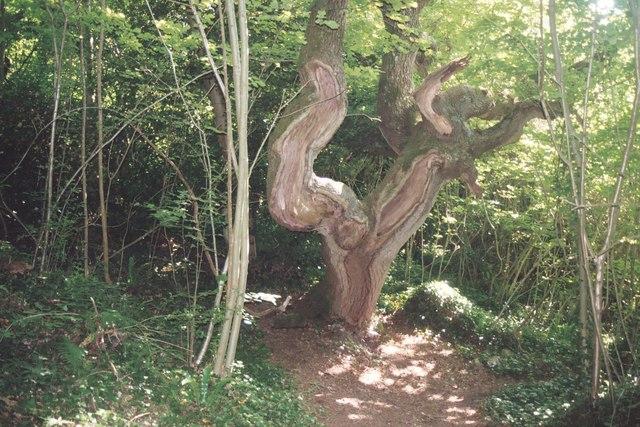 Old oak tree on the Landslip walk